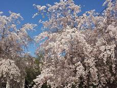見沼桜.jpg