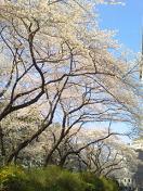 CA33QKO9sakura.jpg